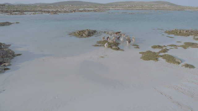 AERIAL airplane point of view herd of cattle running in shallow water / Finish Island, County Galway, Ireland