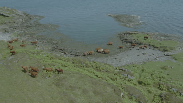 aerial airplane point of view herd of cattle wading in lake + running / isle of jura, western isles, scotland - scottish highlands stock videos & royalty-free footage