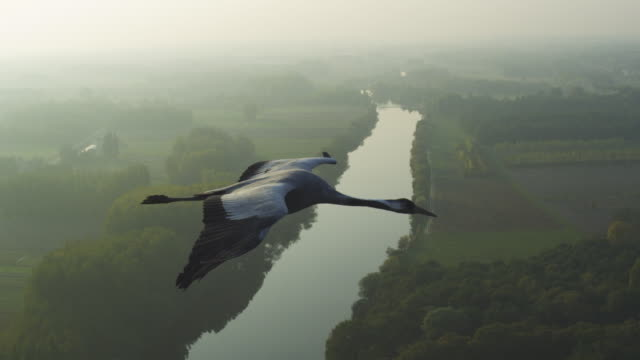 air-to-air ms alongside common crane flying and gliding with rural landscape and river in background pan to second crane - horizont über land stock-videos und b-roll-filmmaterial