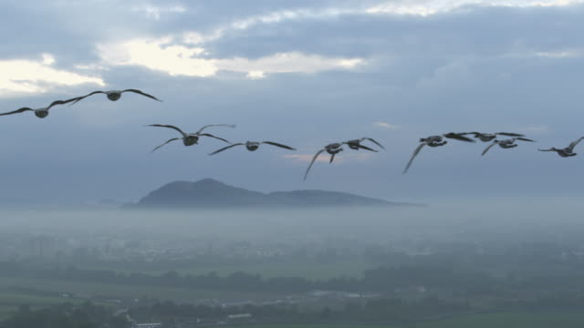 Air-to-air SLO MO behind Barnacle Geese gliding and flying heading towards misty Edinburgh