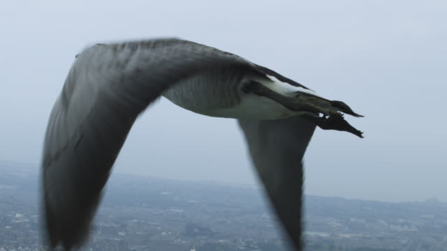 air-to-air slo mo cu behind barnacle goose flying very close to camera with misty edinburgh suburbs in background - goose stock videos & royalty-free footage