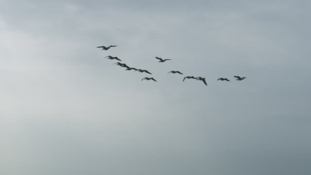 air-to-air slo mo la behind group of barnacle geese gliding and flying with sky in background - 動物の集まり点の映像素材/bロール