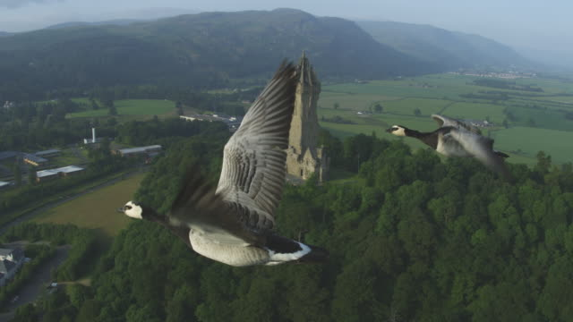 Air-to-air MS flying alongside 2 Barnacle Geese with Wallace Monument in background