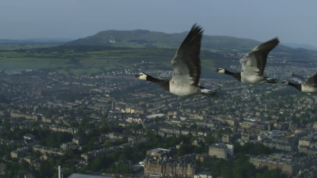 vidéos et rushes de air-to-air slo mo flying alongside 3 barnacle geese at head of v with edinburgh city in background - migration des animaux