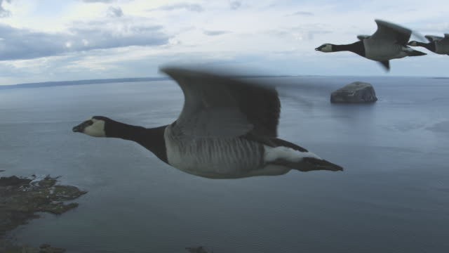 air-to-air flying alongside 3 barnacle geese very close to camera with sea and bass rock in background - air to air shot stock videos and b-roll footage