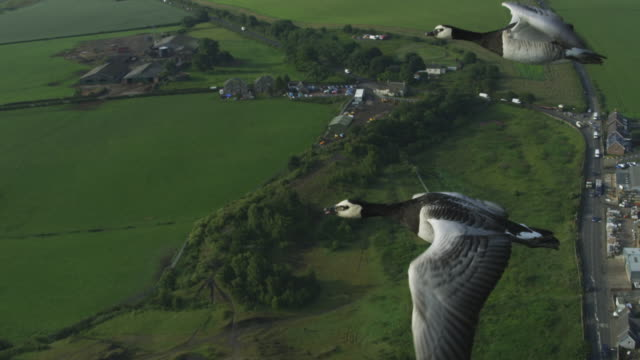 air-to-air slo mo flying alongside 3 barnacle geese with farmland reveal whole line of geese  - goose stock videos & royalty-free footage
