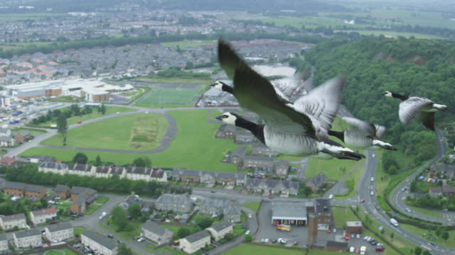 air-to-air slo mo ms flying alongside 4 barnacle geese with suburban housing in background - tracking shot stock videos & royalty-free footage