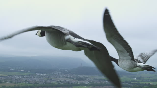 Air-to-air SLO MO CU flying alongside 4 Barnacle Geese with suburban housing then Stirling Castle in background