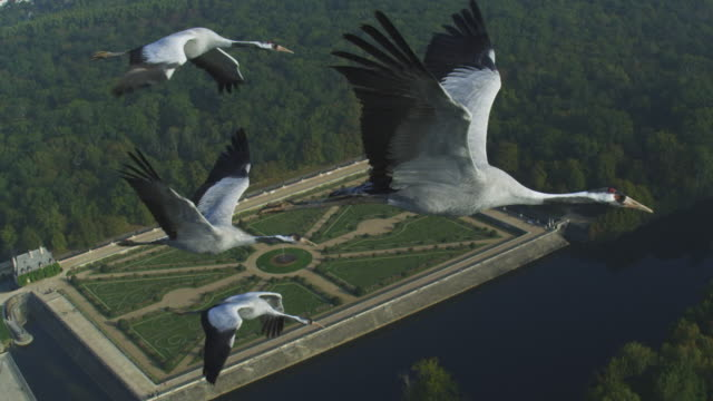 air-to-air flying alongside 4 common cranes into cu single crane with gardens of chateau de chenonceau in background  - crane stock videos & royalty-free footage