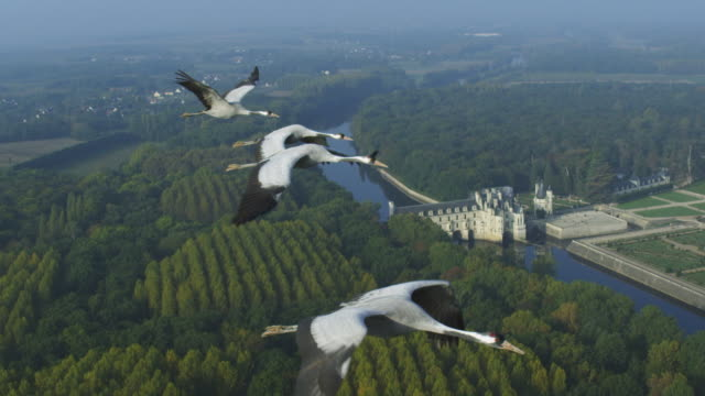 air-to-air flying alongside 4 common cranes with chateau de chenonceau in background  - gru video stock e b–roll