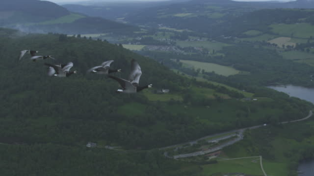 air-to-air slo mo flying alongside 6 barnacle geese rising through frame with urquhart castle then moorland in background - ziehen stock-videos und b-roll-filmmaterial