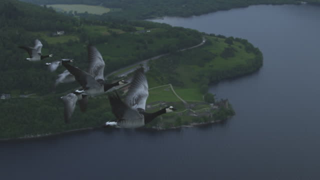 Air-to-air SLO MO flying alongside 6 Barnacle Geese with Urquhart Castle in background
