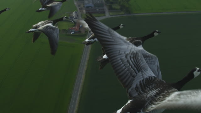 Air-to-air SLO MO flying alongside Barnacle Geese very close to camera with farmland in background