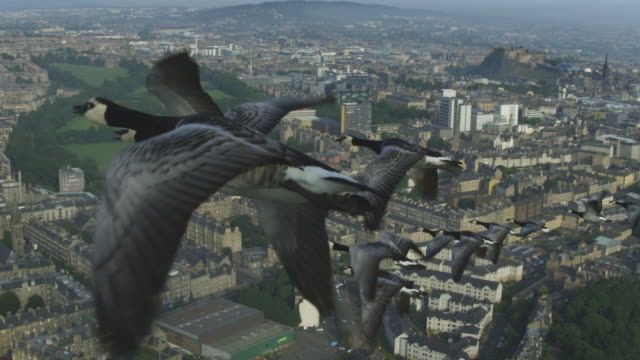 Air-to-air SLO MO flying alongside Barnacle Geese very close to camera with Edinburgh city and castle in background