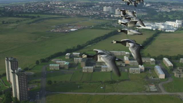 air-to-air slo mo ha ms flying alongside barnacle geese very close to camera with housing in background  - oca uccello d'acqua dolce video stock e b–roll