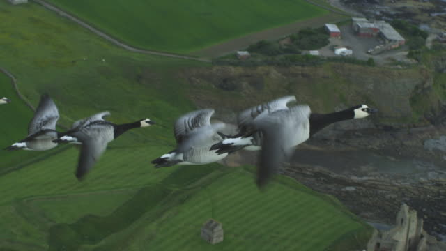 air-to-air slo mo ha flying alongside barnacle geese with tantallon castle and farmland in background - goose stock videos & royalty-free footage