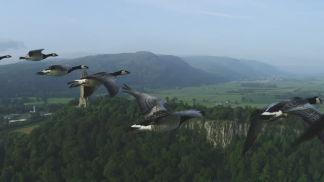 Air-to-air MS flying alongside Barnacle Geese with Wallace Monument in background
