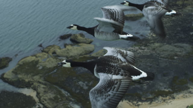 vídeos y material grabado en eventos de stock de air-to-air slo mo ms ha flying alongside barnacle goose over shoreline - cuatro animales
