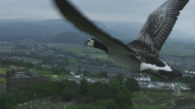 Air-to-air SLO MO MS flying alongside Barnacle Goose very close to camera with Stirling Castle in background