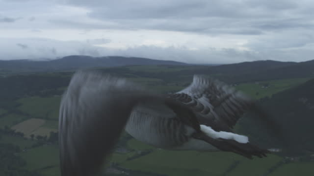 air-to-air slo mo ms flying alongside barnacle goose with moorland in background - air to air shot stock videos and b-roll footage