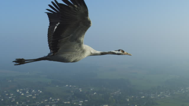 vídeos de stock e filmes b-roll de air-to-air cu flying alongside common crane in clear sky td to ms with gardens at chateau to chenonceau in background  - asa de animal