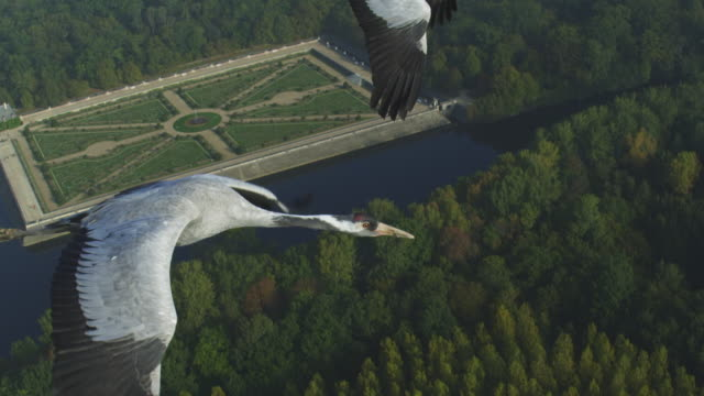air-to-air cu flying alongside common crane tu to group with gardens at chateau to chenonceau in background  - 翼を広げる点の映像素材/bロール