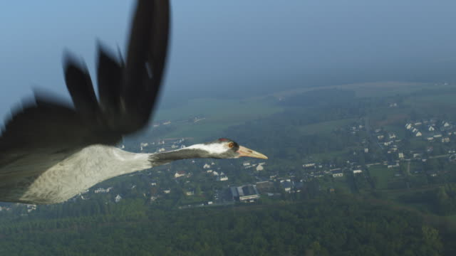 air-to-air cu flying alongside common crane very close to camera with rural landscape then gardens at chateau to chenonceau in background  - eurasischer kranich stock-videos und b-roll-filmmaterial