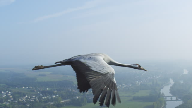 air-to-air ms flying alongside common crane with rural landscape in background td to ms second crane with gardens at chateau de chenonceau in background - horizont über land stock-videos und b-roll-filmmaterial