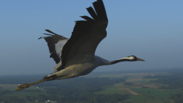 air-to-air ms flying alongside common crane with rural landscape in background pan to reveal second crane - horizont über land stock-videos und b-roll-filmmaterial