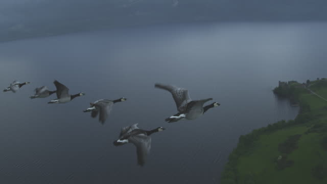 Air-to-air flying alongside group of 6 Barnacle Geese with Urquhart castle and Loch Ness in background