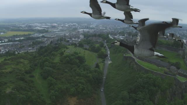 Air-to-air MS flying alongside group of Barnacle Geese circling Stirling Castle in background