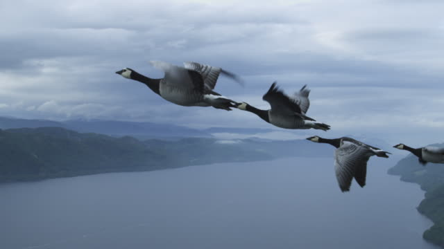 air-to-air slo mo ms flying alongside group of barnacle geese rising with loch ness in background - goose stock videos & royalty-free footage