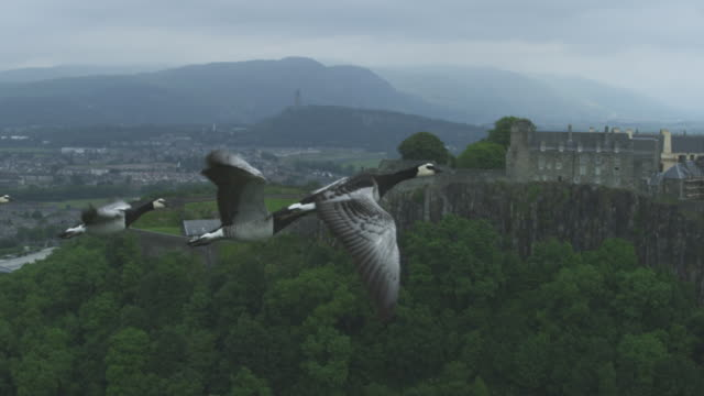 Air-to-air SLO MO flying alongside group of Barnacle Geese very close to camera with Stirling castle in background