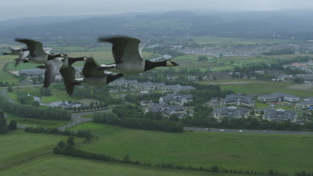 Air-to-air SLO MO flying alongside group of Barnacle Geese very close to camera with suburbs in background