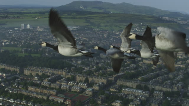 Air-to-air SLO MO flying alongside group of Barnacle Geese very close to camera with Edinburgh suburbs then city and castle in background