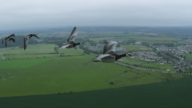 Air-to-air MS flying alongside group of Barnacle Geese with farmland then Stirling Castle in background