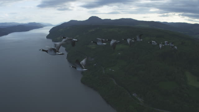 Air-to-air WS flying alongside group of Barnacle Geese with Loch Ness and moorland in background