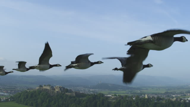 Air-to-air flying alongside group of Barnacle Geese with Stirling Castle in background