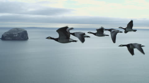 air-to-air ws flying alongside line of 6 barnacle geese changing places with sea and bass rock in background - animals in the wild bildbanksvideor och videomaterial från bakom kulisserna
