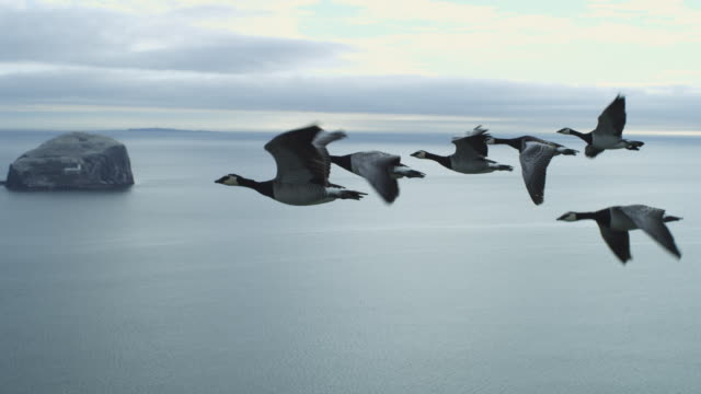 vídeos de stock, filmes e b-roll de air-to-air ws flying alongside line of 6 barnacle geese changing places with sea and bass rock in background - parte do corpo animal