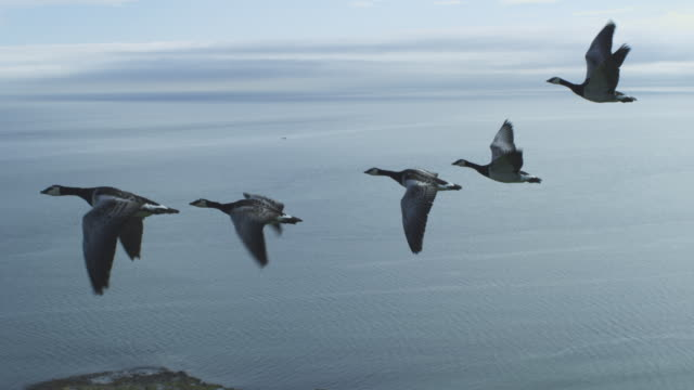 vídeos y material grabado en eventos de stock de air-to-air ms flying alongside line of 6 barnacle geese changing places with sea and bass rock in background - grupo mediano de animales