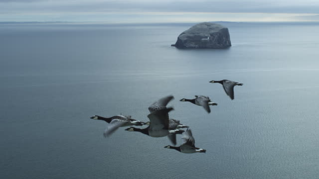 air-to-air ws flying alongside line of 6 barnacle geese with sea and bass rock in background - rock stock videos & royalty-free footage