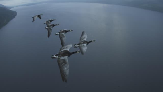 vídeos y material grabado en eventos de stock de air-to-air flying alongside line of barnacle geese changing places with loch ness in background  - grupo mediano de animales