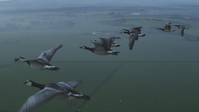 air-to-air slo mo flying alongside line of barnacle geese into 3 shot with misty farmland in background - oca uccello d'acqua dolce video stock e b–roll