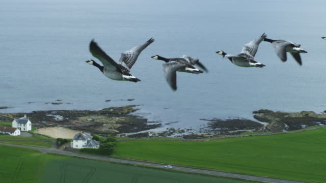 air-to-air ha flying alongside line of barnacle geese rising through shot with shoreline in background - air to air shot stock videos & royalty-free footage