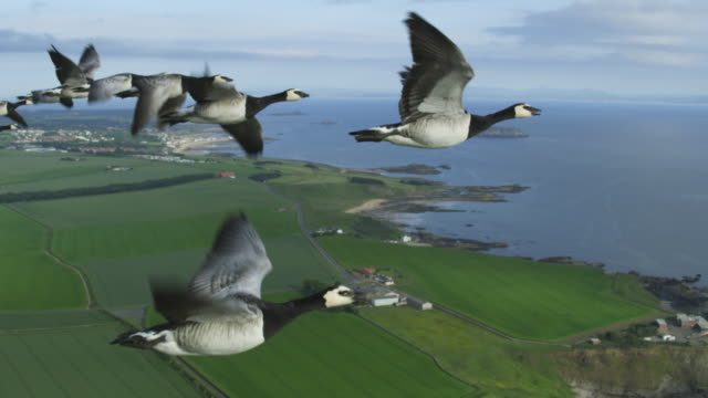 air-to-air slo mo flying alongside line of barnacle geese with farmland and shoreline in background - goose stock videos & royalty-free footage