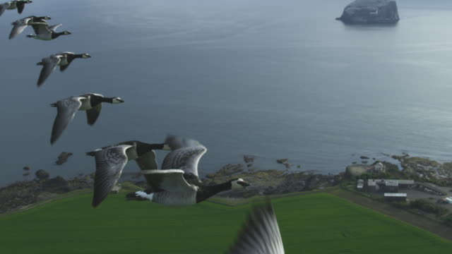 air-to-air slo mo ha flying alongside line of barnacle geese with farmland then sea and bass rock in background - goose stock videos & royalty-free footage