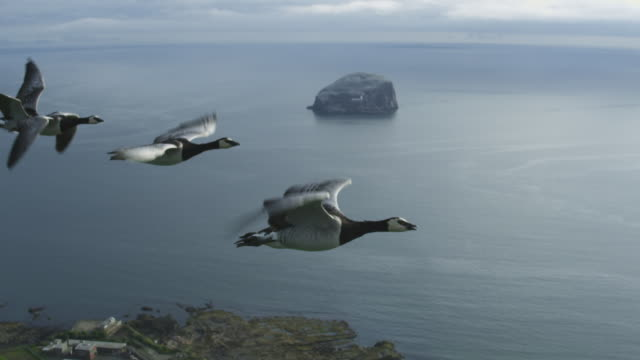 air-to-air slo mo ha flying alongside line of barnacle geese with sea and bass rock in background - goose stock videos & royalty-free footage