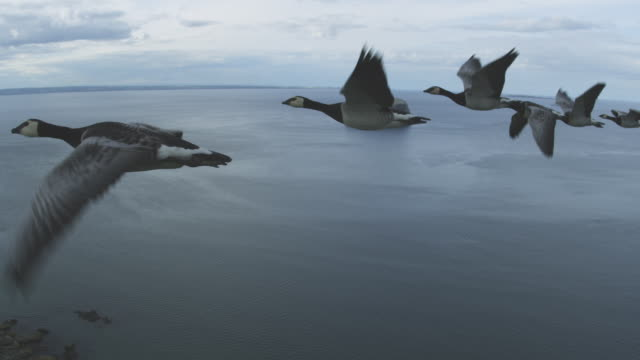 air-to-air flying alongside line of barnacle geese with sea and bass rock in background - 翼を広げる点の映像素材/bロール