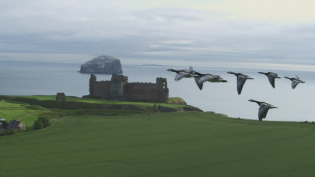 air-to-air slo mo flying alongside line of barnacle geese with shoreline and tantallon castle in background  - oca uccello d'acqua dolce video stock e b–roll